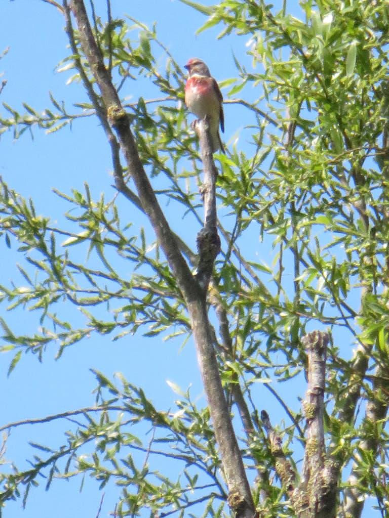 Vogelexcursie Lauwersmeer - kneu