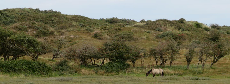 Natuurgebied Oranjezon konikpaarden